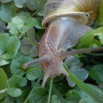 La lumaca polesana allevamento chiocciole